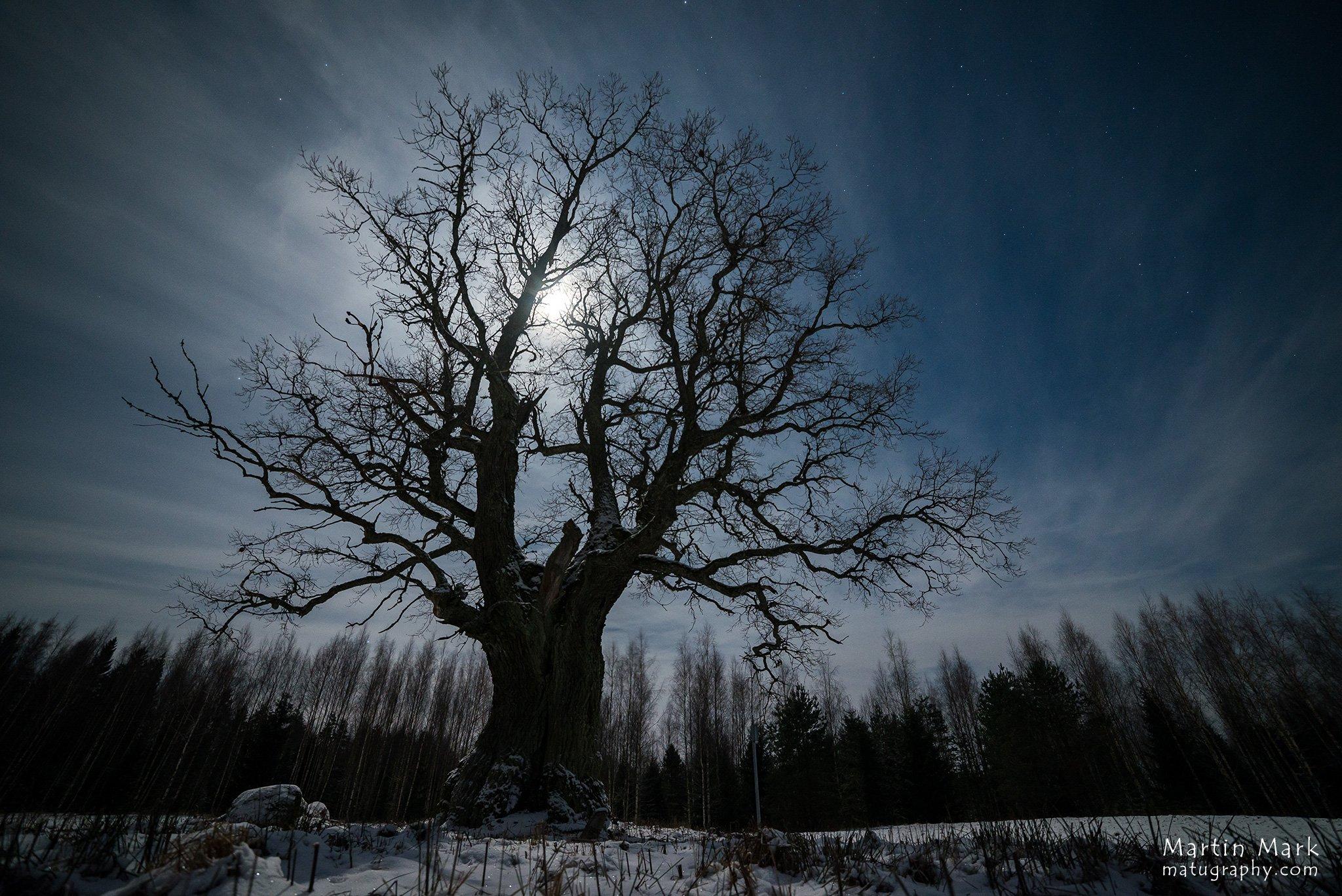 Ruuga tamm kuuvalgel